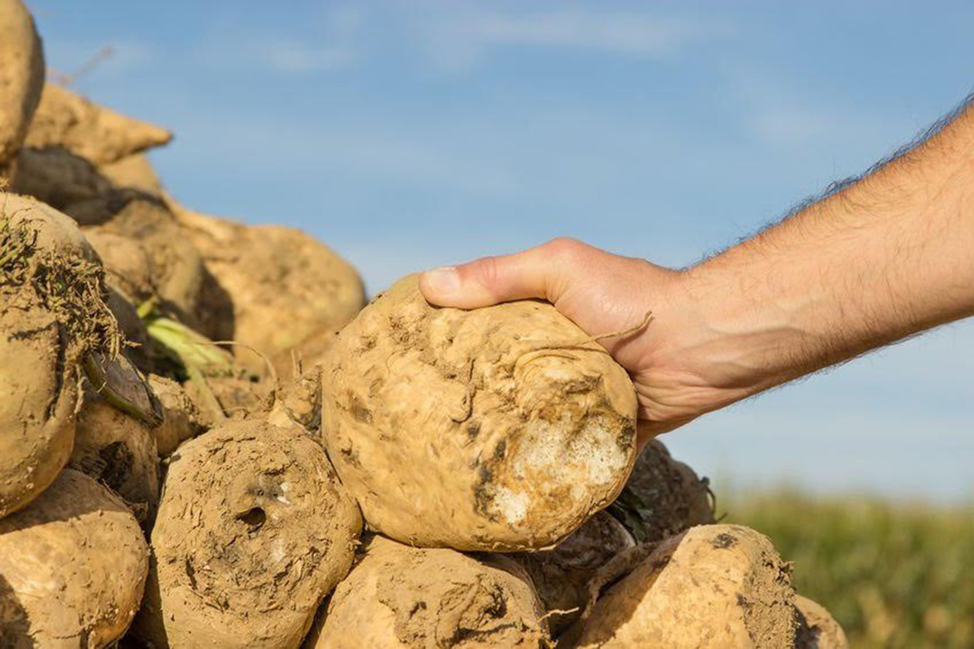 hand on a sugar beet in a pile of sugar beets