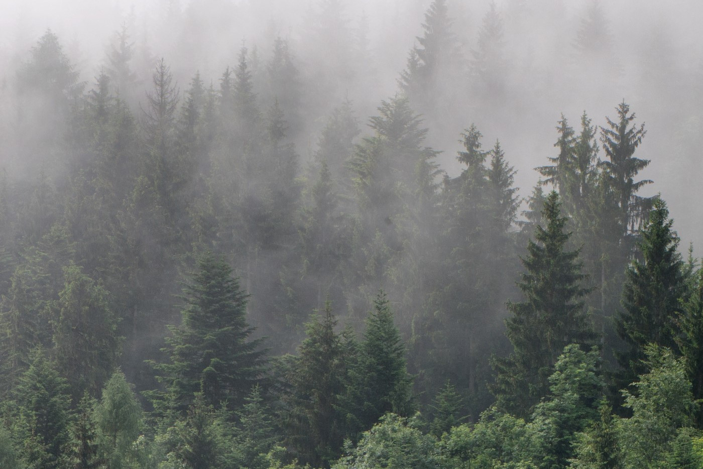 Forest of trees with fog over the top