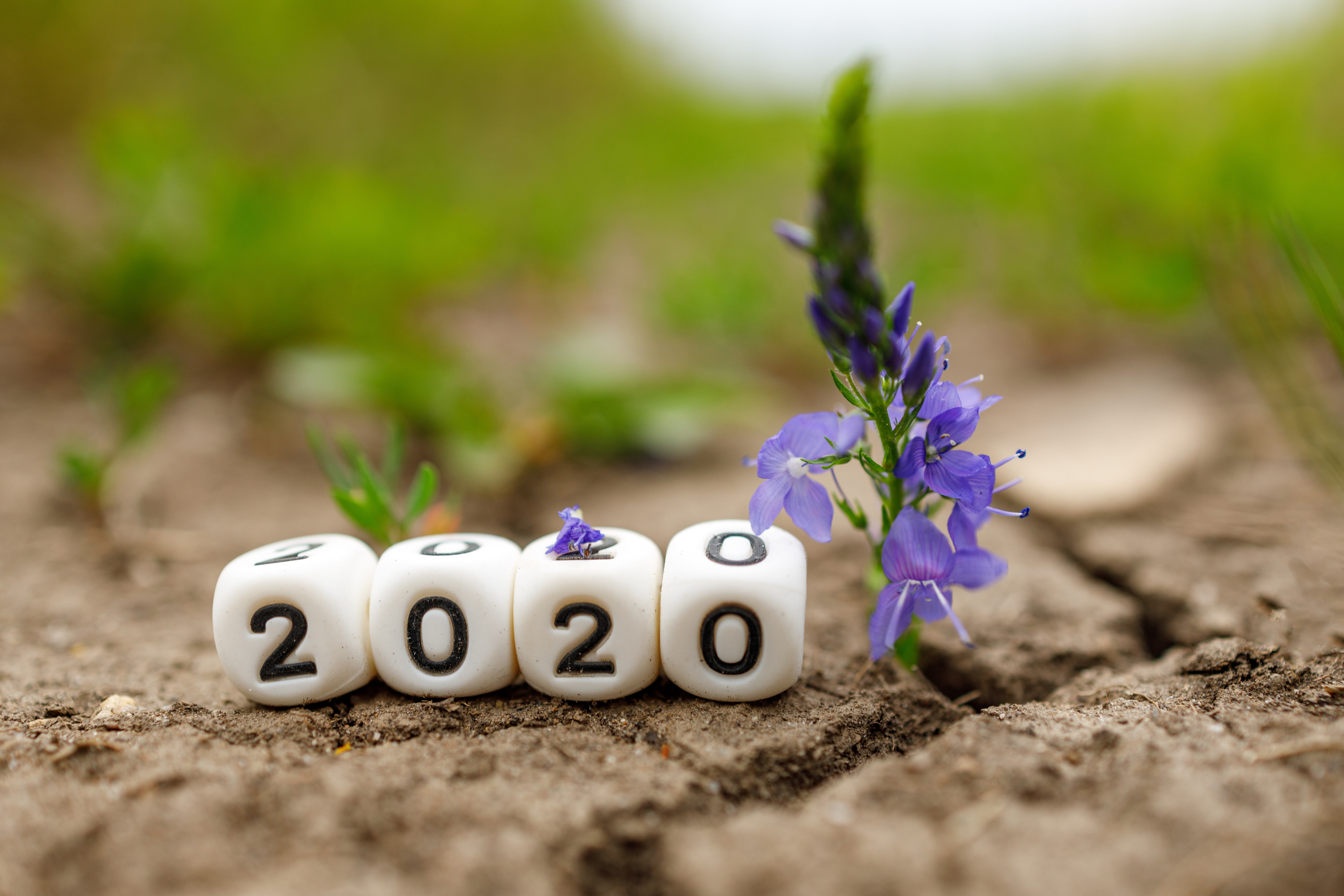 Four dice with numbers lined up to spell 2020 on the ground next to purple flowers