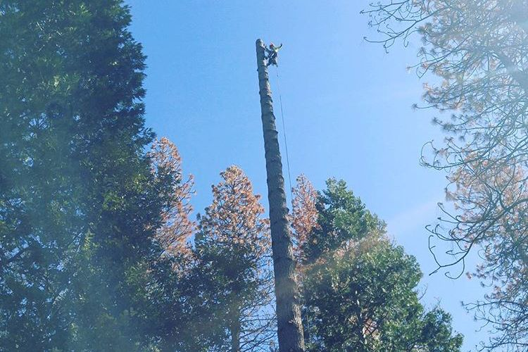 Tree climber at the top of a tree