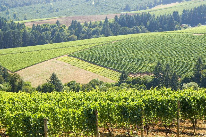 Vineyard in the foreground with roaming green hills and a tree line in the background.