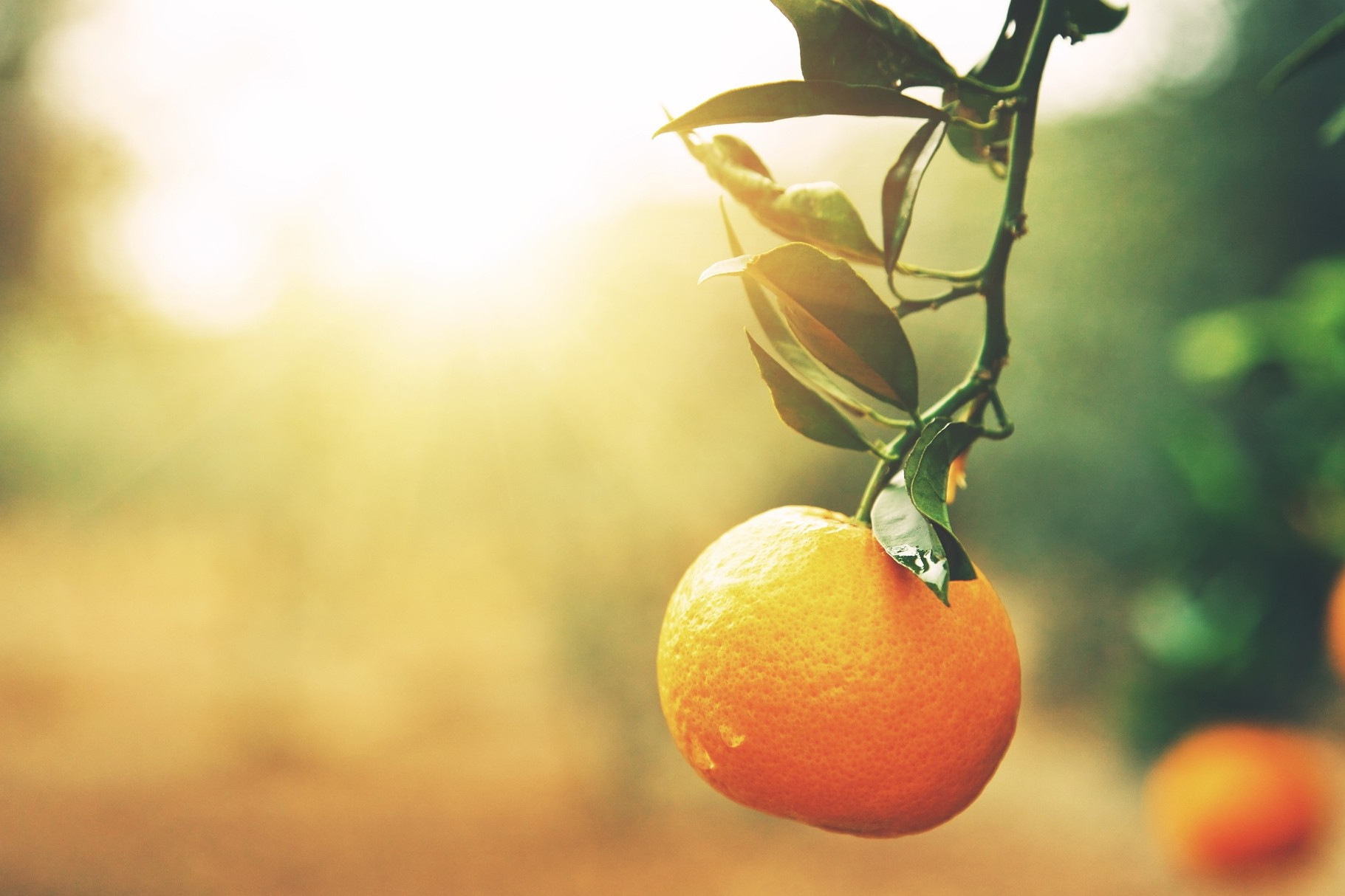 A single orange hanging from a tree branch.