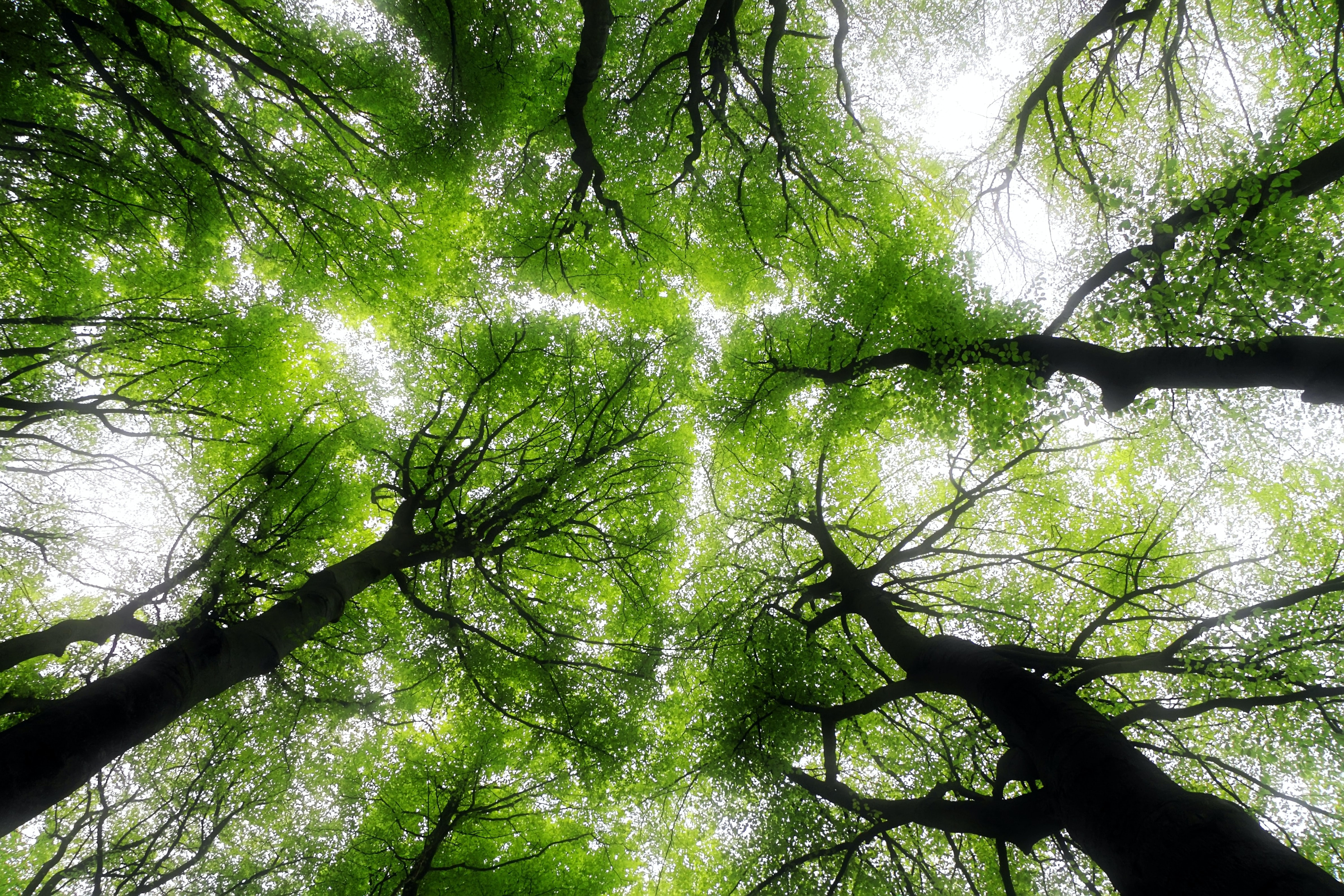 looking up at multiple green trees