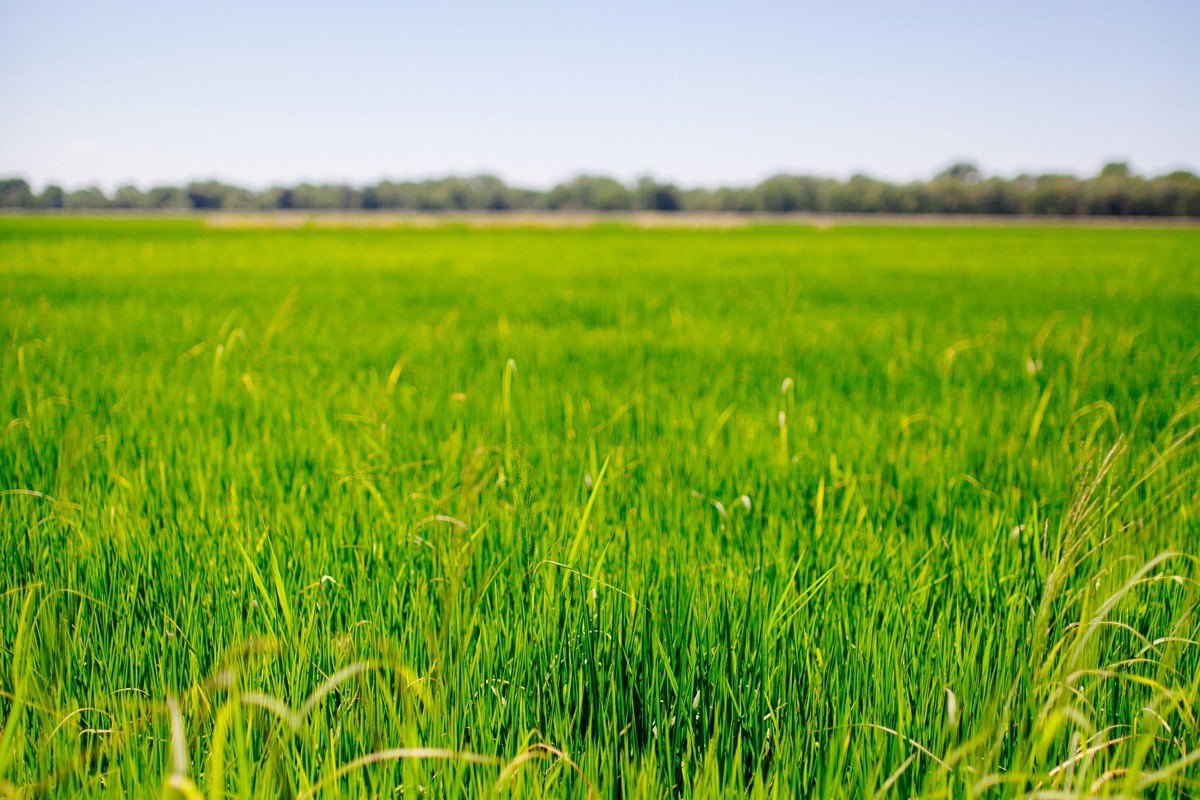Field of green rice with blue skies