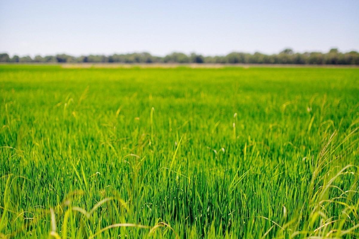 Field of green rice with blue sky background