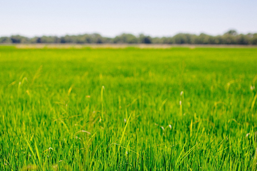 field of green rice